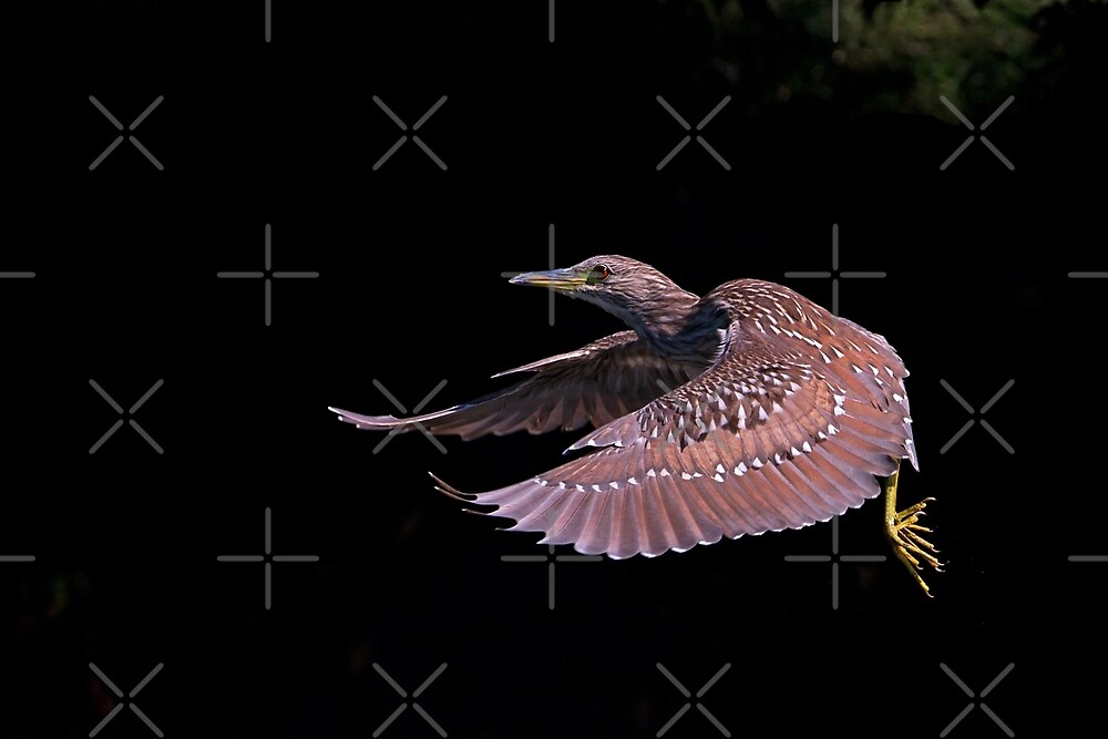 Juvenile Black-crowned Night Heron by Jim Cumming
