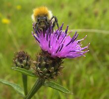 Bee on Thistle by Gorjoss
