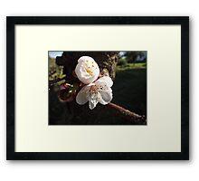 Peach Blossom... Framed Print