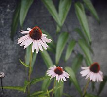 Coneflowers by Mohini Patel Glanz