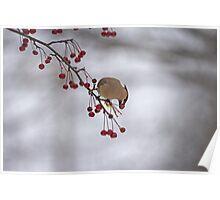 Cedar Waxwing Eating Berries 1 Poster