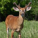 Velvety Buck - White-tailed deer by Jim Cumming