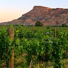 Western Colorado Wine Vineyards by RondaKimbrow