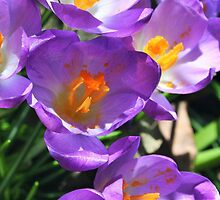 Crocus - First Signs of Spring by gt6673