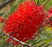Red Bottle Brush by Greg and Margaret Buck