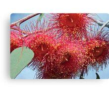 Red Gum Tree flower Canvas Print