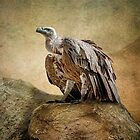 Griffon Vulture by Tarrby