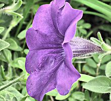 Purple Petunia by Monnie Ryan
