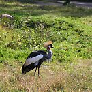 African Crowned Crane by Tony Wilder