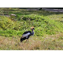 African Crowned Crane Photographic Print