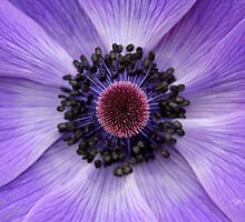 Purple Anemone by Jonathan Cox
