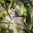 "Costa""s Hummingbird on Nest by Robert Kelch, M.D."