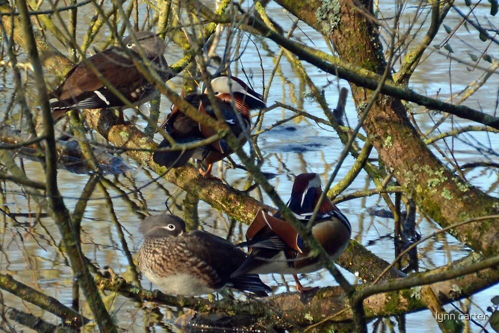 Mandarin Ducks At Yeovil Country Park, Somerset.UK by lynn carter