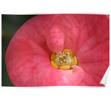 Crown of Thorns Flower. Poster