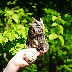 Eastern Screech Owl by bonitalolitas