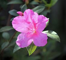 Azalea Spring by Bob Hardy