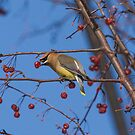 Waxwing On Canvas by Thomas Young