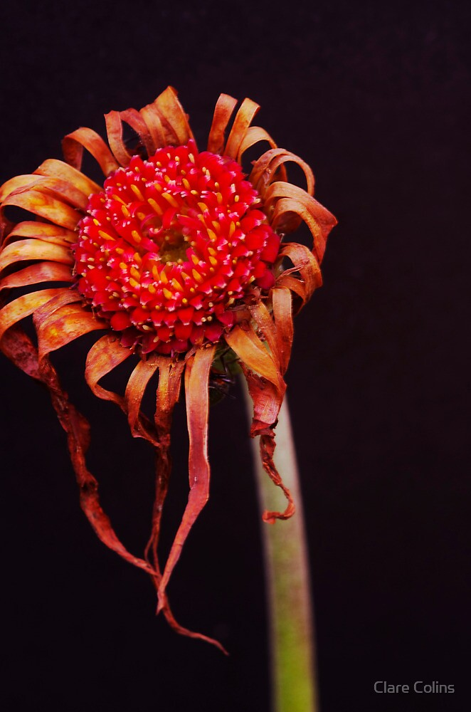Gerbera  by Clare Colins