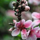Peach Flowers by heatherfriedman