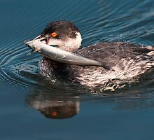 Eared Grebe With Fish by Ram Vasudev