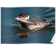 Eared Grebe With Fish Poster