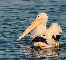 American White Pelican by Ram Vasudev