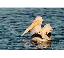 American White Pelican Photographic Print