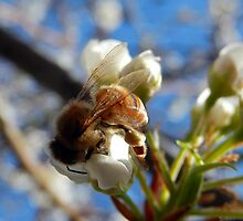 HONEY BEE ON A BLOSSOM (3) by Sandra  Aguirre