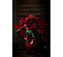 Poinsettia on Point Photographic Print