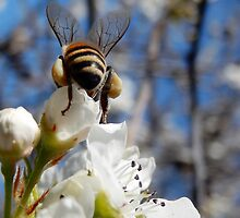 HONEY BEE ON A BLOSSOM (11) by Sandra  Aguirre
