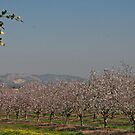 Almond in Perspective to Landscape by Nira Dabush