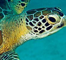 Green sea turtle portrait by David Wachenfeld