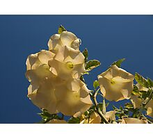 Angel Trumpets in the Sky - Take 2 Photographic Print