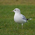 Common Gull by VoluntaryRanger
