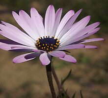 Daisy lilac dreams... by DonningtonCat