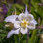 Aquilegia by PhotosByHealy