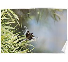Black and Blue Widow Skimmer Poster