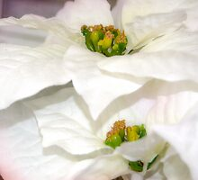 Pure Poinsettia Twins by designingjudy