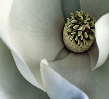 Magnolia Bud by carlyncards