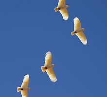Little Corellas ~ On Golden Wings by Robert Elliott