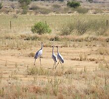 Dancing Brolga's!  Kennedy Dev. Road. Central Quld. Aust. by Rita Blom