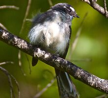 Grey Fantail by tasmanianartist