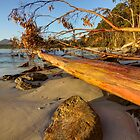 Fallen - Tree at Adventure Bay HDR - Bruny Island, Tasmania, Australia by PC1134
