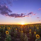 Clifton's Sunflower Field by McguiganVisuals