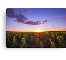 Clifton's Sunflower Field Canvas Print