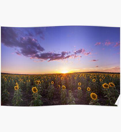 Clifton's Sunflower Field Poster
