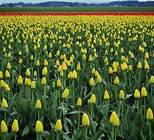 Yellow Tulips by Lisa Kennedy