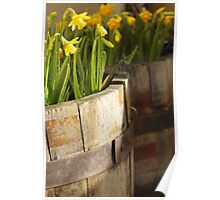Daffs in tubs Poster
