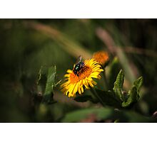 Green Bottle Fly Photographic Print