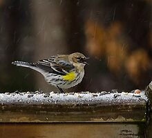 A Mouthy Warbler in the Snow by Robert H Carney